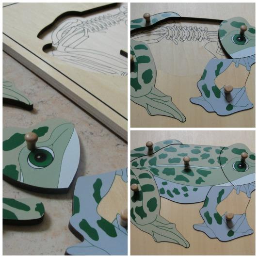 anatomia de la rana.jpg