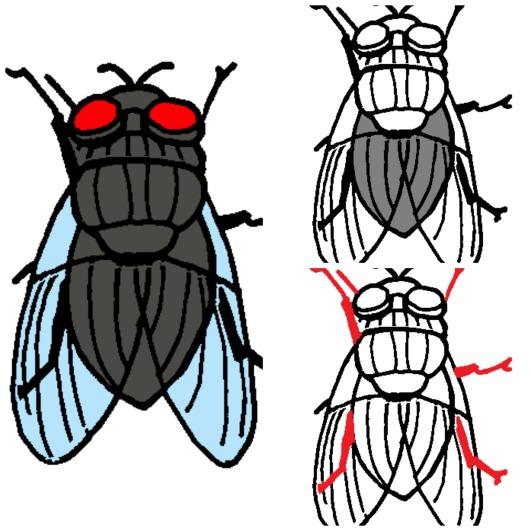 Anatomía de la mosca – MiMontessori
