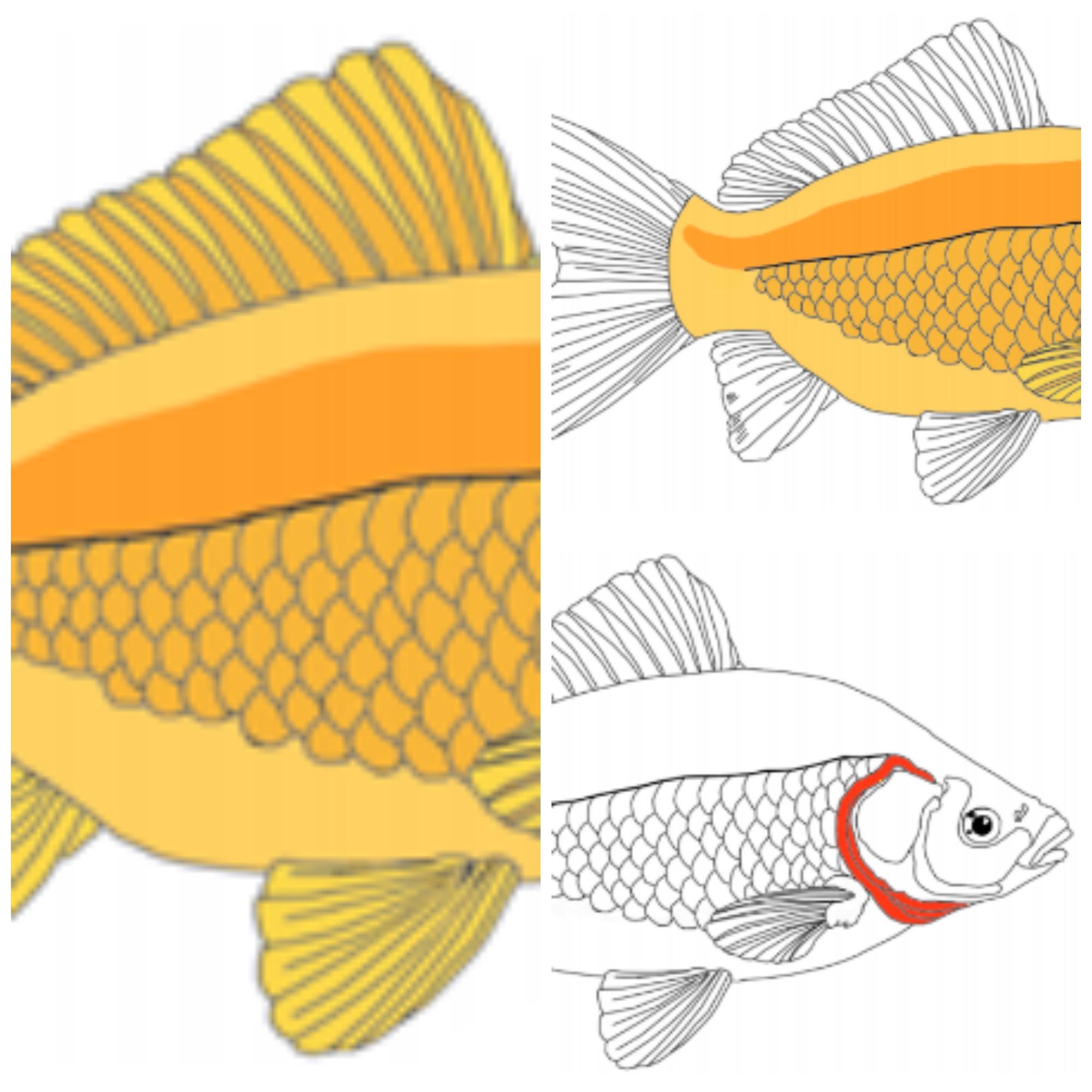 Anatomía del pez – MiMontessori