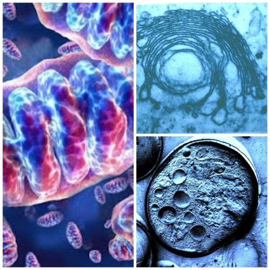 celula animal