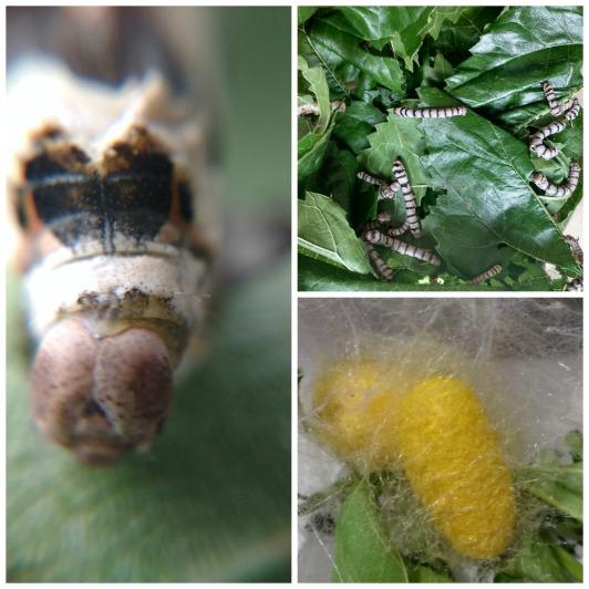 gusanos de seda
